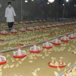 بیماری آنفلوآنزای مرغی در سه نقطه استان فارس شناسایی شد/ هیچ محصولی از این واحدها وارد بازار نشد/ نقش شیوع بیماری از طریق مرغهای محلی ثابت شده است