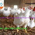 ریواس جنوب بررسی کرد/ تمایل مردم به خرید مرغ زنده و اصرار مسئولان بر ممنوعیت عرضه مرغ زنده